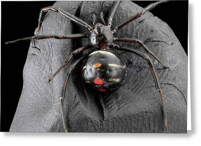 Northern Black Widow Spider Greeting Card by Us Geological Survey