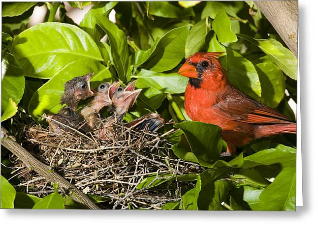Us Open Photographs Greeting Cards - Northern Cardinal Father And Chicks Greeting Card by Tom Vezo