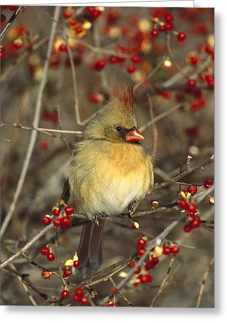 New Individuals Greeting Cards - Northern Cardinal Female In Bittersweet Greeting Card by Tom Vezo
