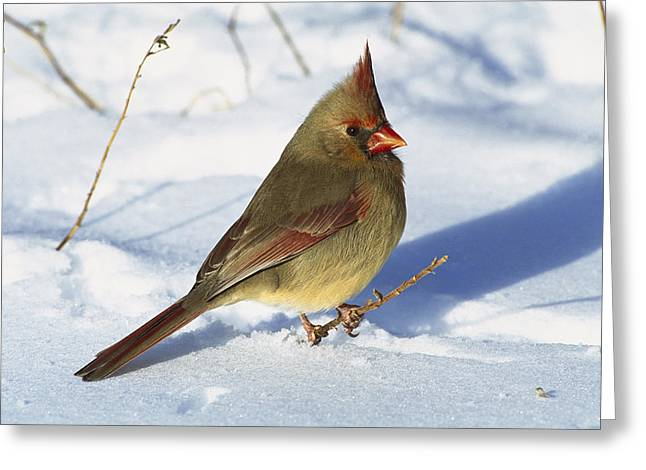 Northern Cardinal Photo Greeting Cards - Northern Cardinal Female On Snow Greeting Card by Tom Vezo
