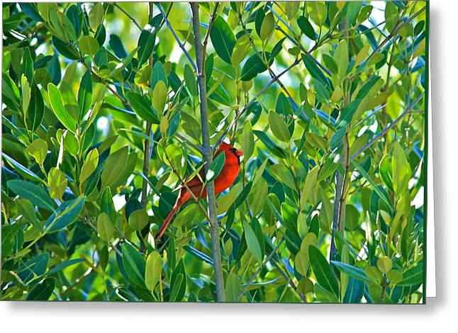 Cedar Key Greeting Cards - Northern Cardinal Hiding Among Green Leaves Greeting Card by Cyril Maza