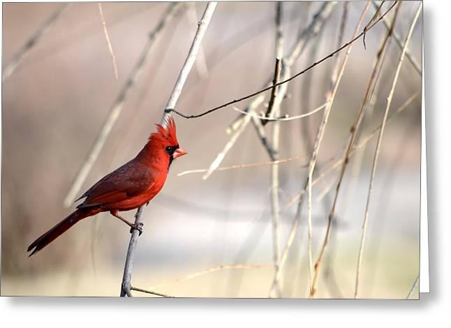 Beautiful Winter Willow Tree  Yellow Greeting Cards - Northern Cardinal II Greeting Card by Deena Stoddard