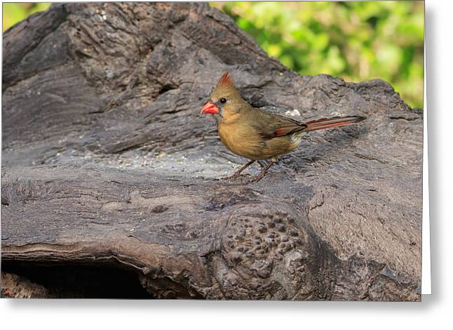 South Padre Island Texas Greeting Cards - Northern Cardinal Greeting Card by Louise Heusinkveld