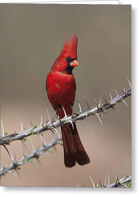 Northern Cardinal Photo Greeting Cards - Northern Cardinal Male Arizona Greeting Card by Tom Vezo
