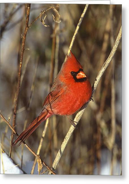 Northern Cardinal Photo Greeting Cards - Northern Cardinal Male Long Island Greeting Card by Tom Vezo
