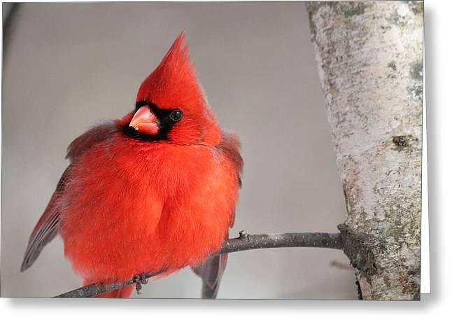 Northern Cardinal Photo Greeting Cards - Northern Cardinal Greeting Card by Roberto De Souza