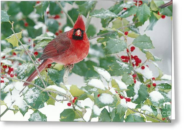 Male Cardinals In Snow Greeting Cards - Northern Cardinal Greeting Card by Steve and Dave Maslowski