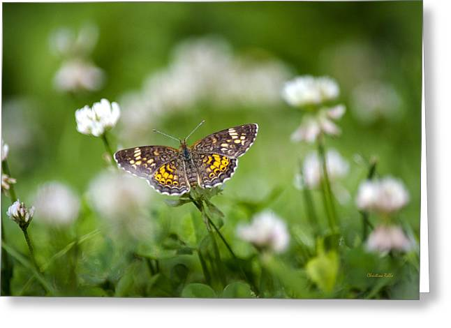Checkerspot Greeting Cards - Northern Crescent Butterfly Greeting Card by Christina Rollo