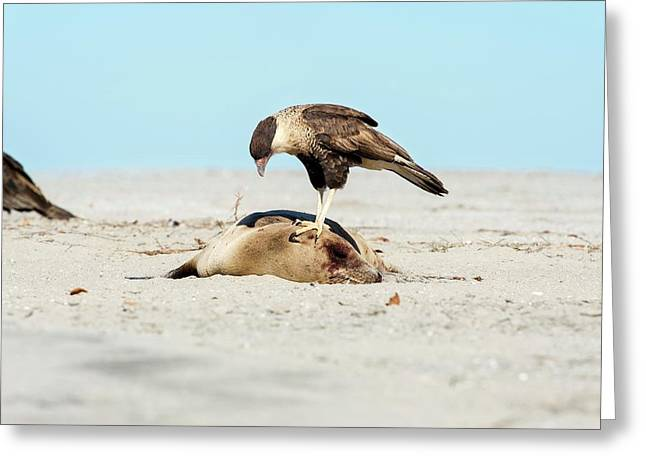 Northern Crested Caracara On A Carcass Greeting Card by Christopher Swann