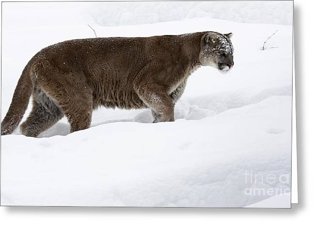 Northern Depths Cougar In The Winter Snow Greeting Card by Inspired Nature Photography Fine Art Photography