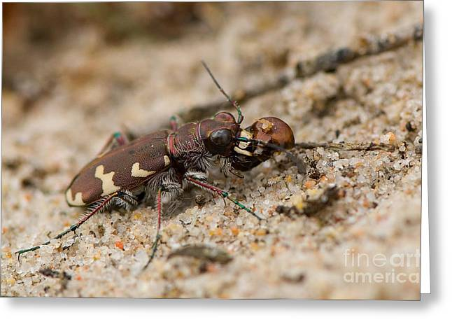 Northern Dune Tiger Beetle Greeting Card by Steen Drozd Lund