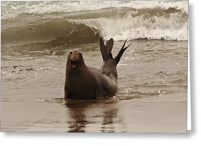Elephant Seals Greeting Cards - Northern Elephant Seal Greeting Card by Lee Kirchhevel