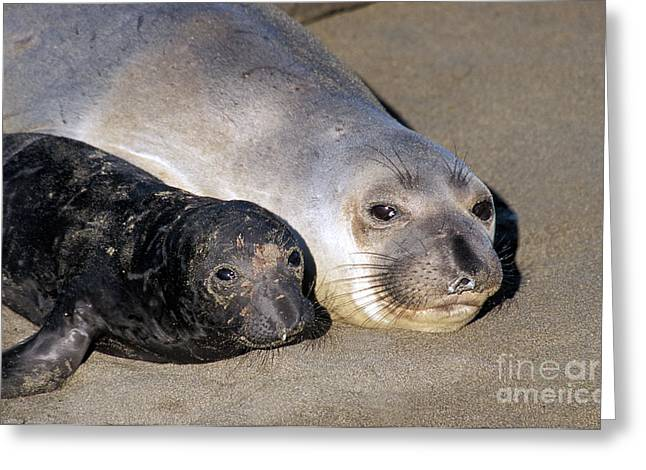 Elephant Seals Greeting Cards - Northern Elephant Seals Greeting Card by Mark Newman