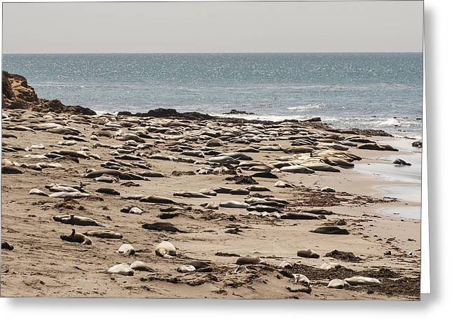 Elephant Seals Greeting Cards - Northern Elephant Seals on the Beach Greeting Card by Lee Kirchhevel