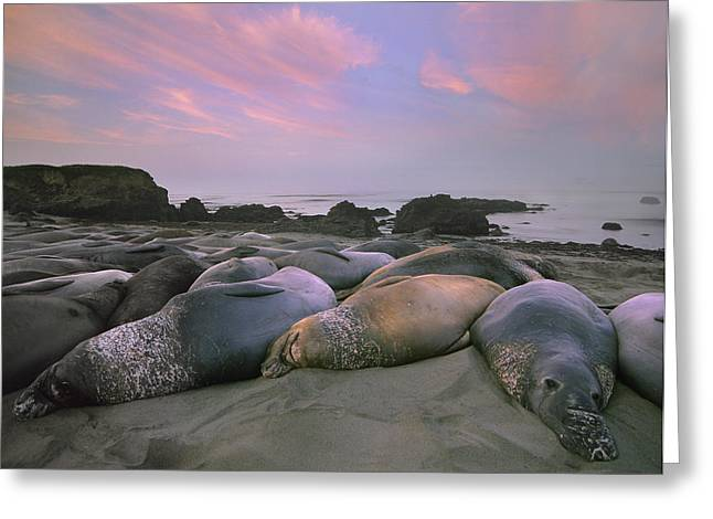 Big Sur Beach Greeting Cards - Northern Elephant Seals Point Piedra Greeting Card by Tim Fitzharris