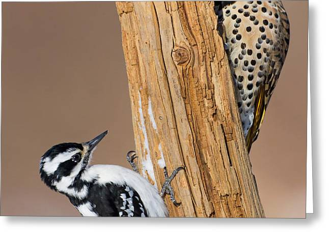 Northern Flicker and Hairy Woodpecker Greeting Card by Jim Zipp