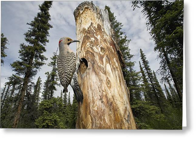 Northern Flicker At Nest Cavity Greeting Card by Michael Quinton