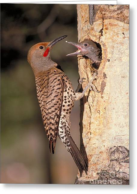 Hungry Chicks Greeting Cards - Northern Flicker At Nest Greeting Card by Richard R Hansen