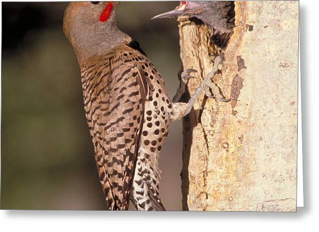 Northern Flicker At Nest Greeting Card by Richard R Hansen