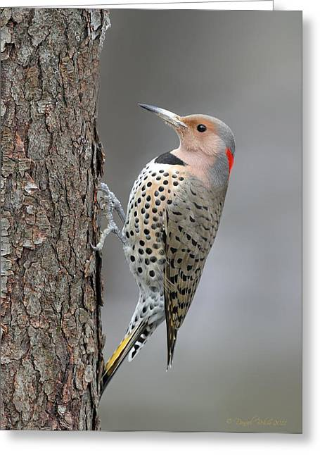 Northern Flicker Greeting Card by Daniel Behm