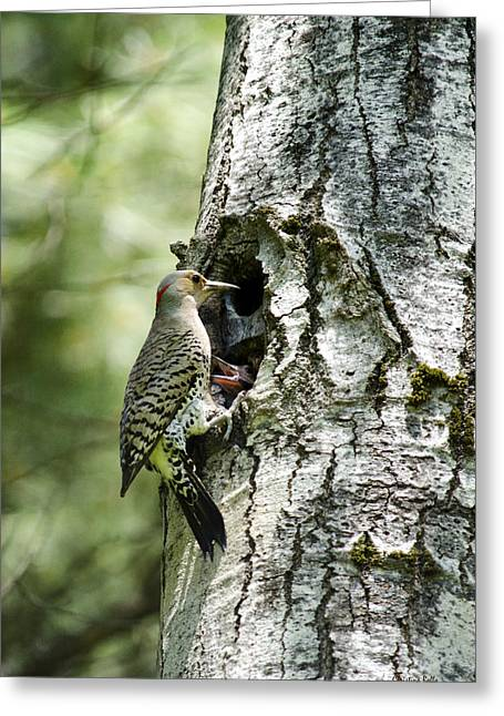 Hungry Chicks Greeting Cards - Northern Flicker Nest Greeting Card by Christina Rollo