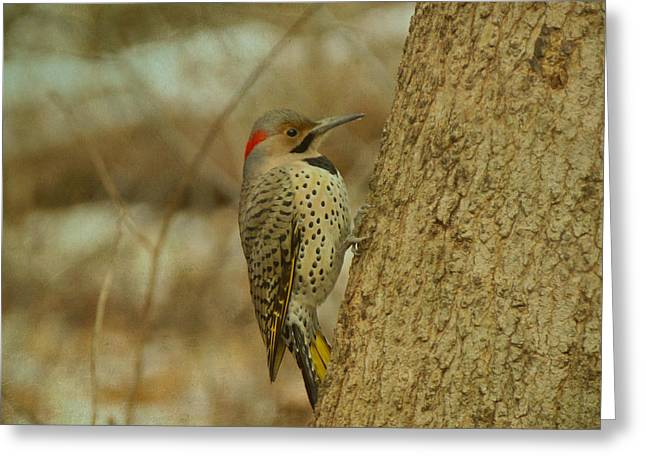 Northern Flicker On Tree Greeting Card by Sandy Keeton