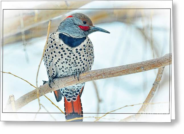 Photos With Red Greeting Cards - Northern Flicker Greeting Card by Wendy Elliott