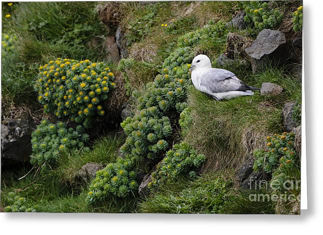 Arctic Rose Greeting Cards - Northern Fulmar And Roseroot Greeting Card by John Shaw