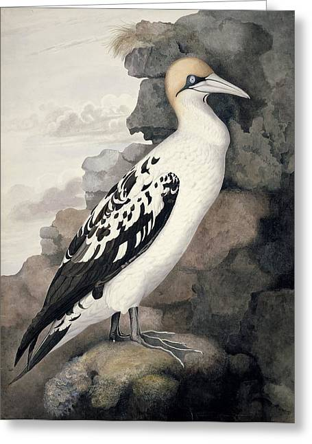 Sea Birds Greeting Cards - Northern gannet, 19th century artwork Greeting Card by Science Photo Library