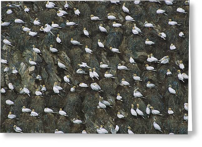 Morus Bassanus Greeting Cards - Northern Gannet Colony Shetland Islands Greeting Card by Tui De Roy