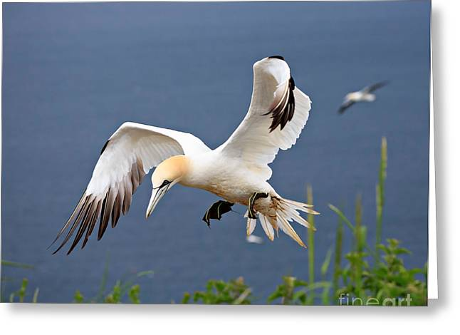 Northern Gannet In Flight Greeting Card by Louise Heusinkveld
