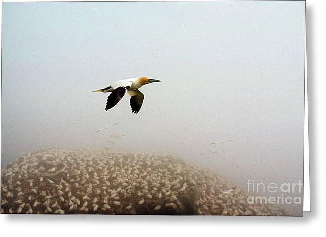 Northern Gannet Greeting Cards - Northern Gannet Sula Bassanus Greeting Card by James L. Amos