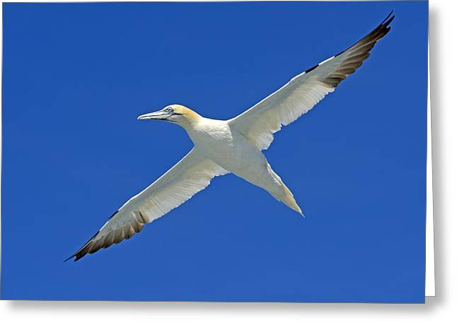 Northern Gannet Greeting Cards - Northern Gannet Greeting Card by Tony Beck