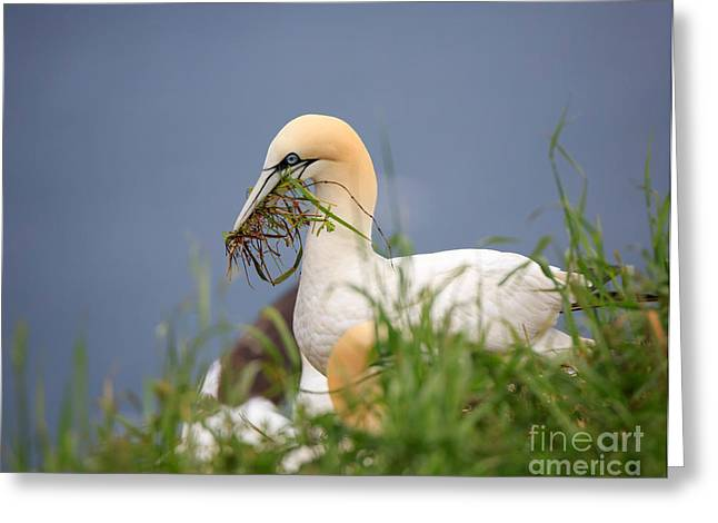 Seabirds Greeting Cards - Northern Gannet gathering nesting material Greeting Card by Louise Heusinkveld