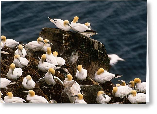 Morus Bassanus Greeting Cards - Northern Gannets Greeting Card by Art Wolfe