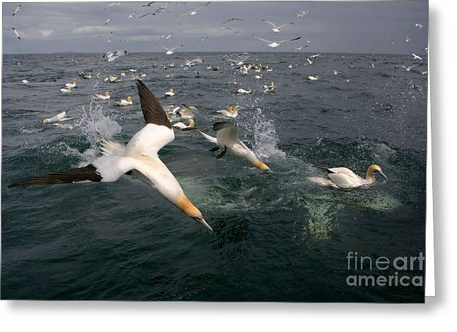 Northern Gannets Fishing Greeting Card by Thomas Hanahoe