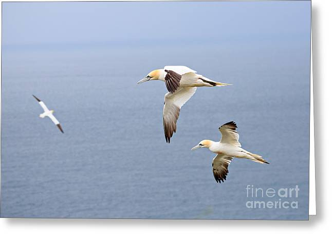 Gannet Greeting Cards - Northern Gannets in Flight Greeting Card by Louise Heusinkveld