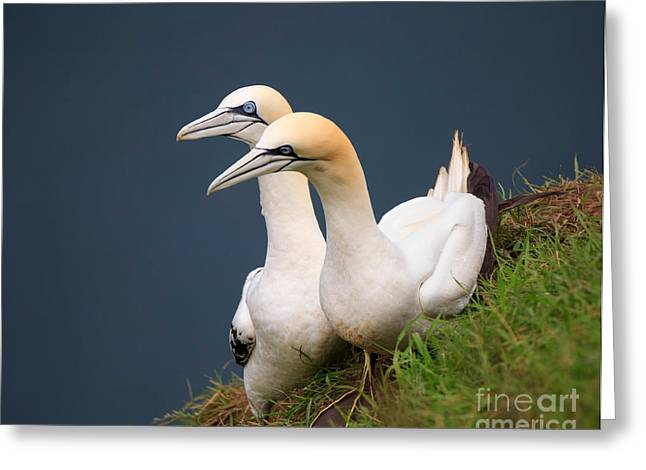 Northern Gannets Greeting Card by Louise Heusinkveld