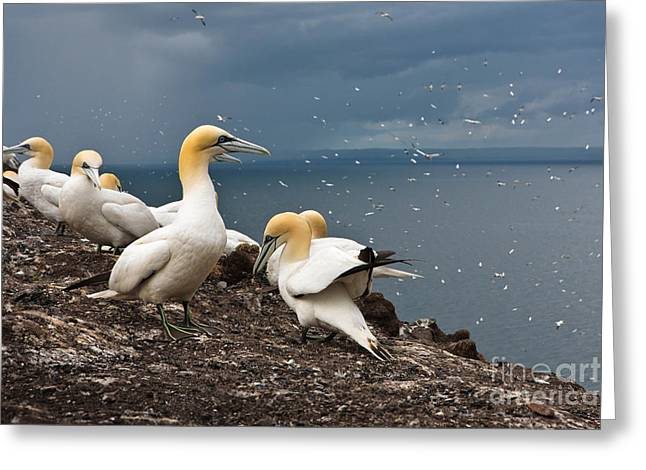 Northern Gannet Greeting Cards - Northern Gannets Greeting Card by Thomas Hanahoe