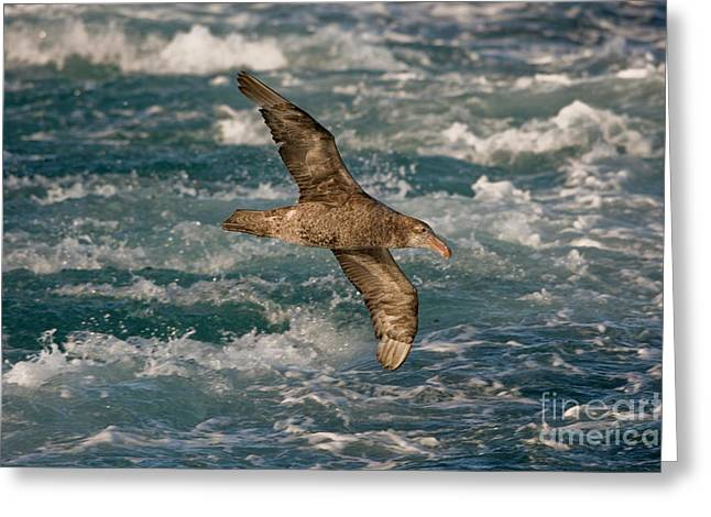Flying Animal Greeting Cards - Northern Giant Petrel Greeting Card by John Shaw