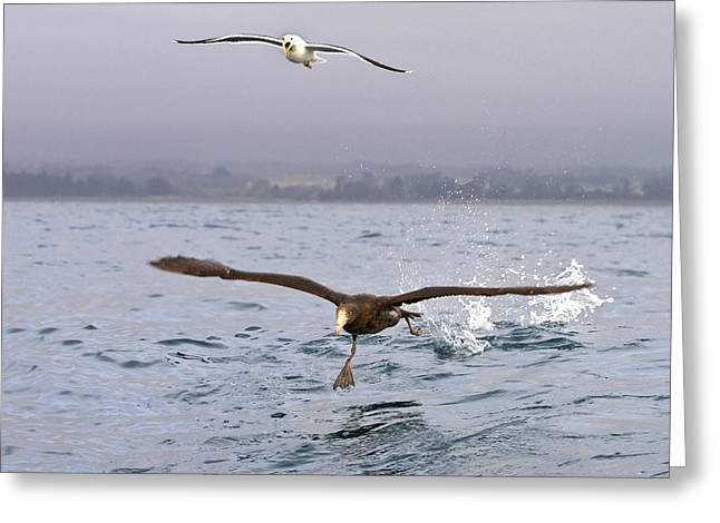 Sea Birds Greeting Cards - Northern giant petrel Greeting Card by Science Photo Library