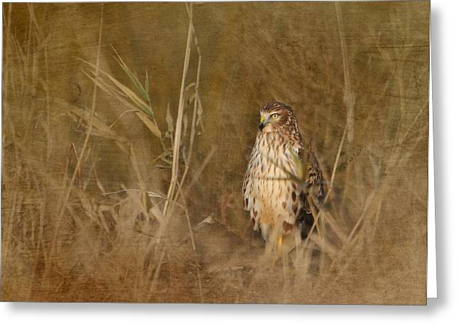 Northern Harrier At Rest Greeting Card by Angie Vogel