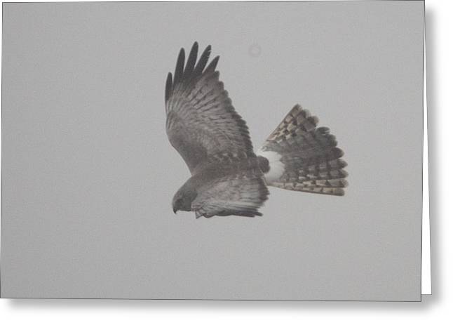 Northern Harrier Greeting Card by Graham Foulkes