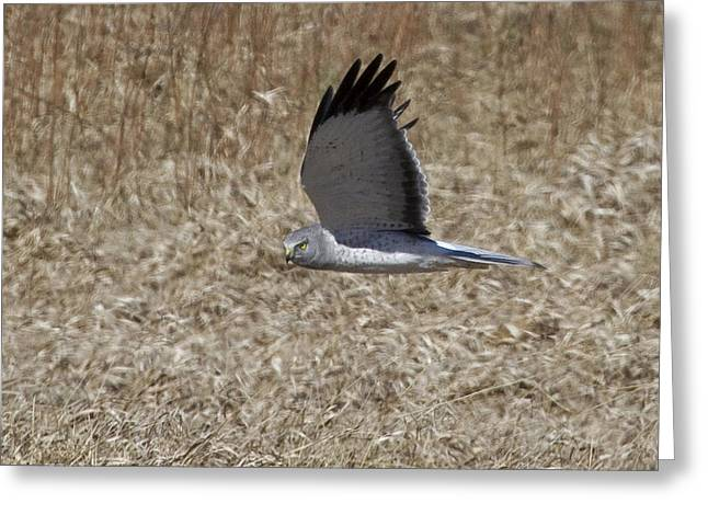 Menard Greeting Cards - Northern Harrier VI Greeting Card by Eric Mace