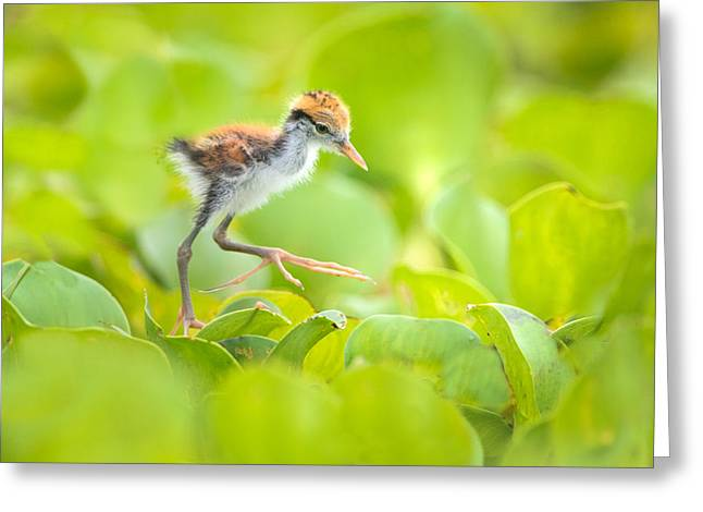 Northern Jacana Jacana Spinosa Chick Greeting Card by Panoramic Images