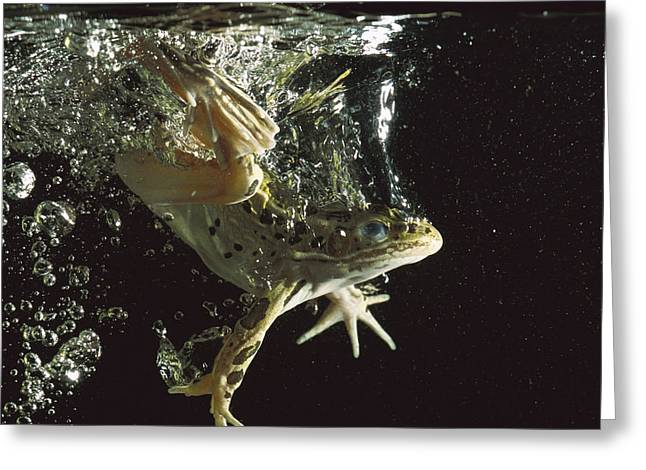 True Color Photograph Greeting Cards - Northern Leopard Frog Jumping Greeting Card by Heidi & Hans-Juergen Koch