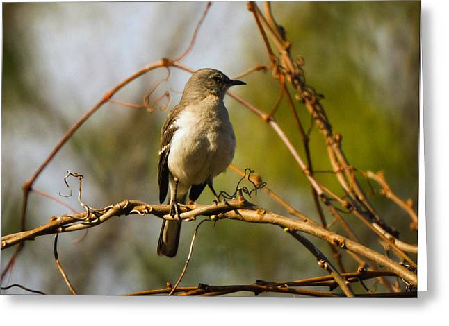 West Virginia Greeting Cards - Northern Mockingbird 002 Greeting Card by Howard Tenke