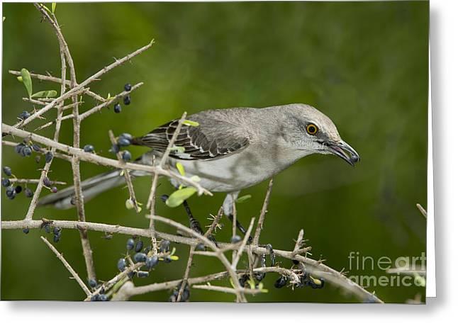 Mockingbird Greeting Cards - Northern Mockingbird Greeting Card by Anthony Mercieca