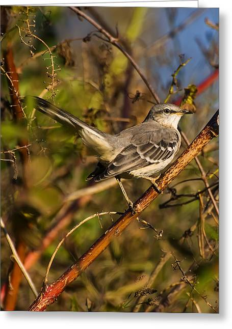Bird Pictures Greeting Cards - Northern Mockingbird Greeting Card by Chris Flees
