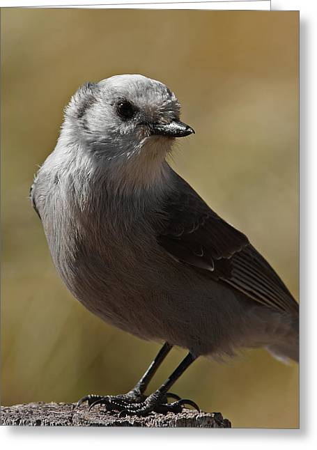 Northern Mockingbird Greeting Card by Ernie Echols